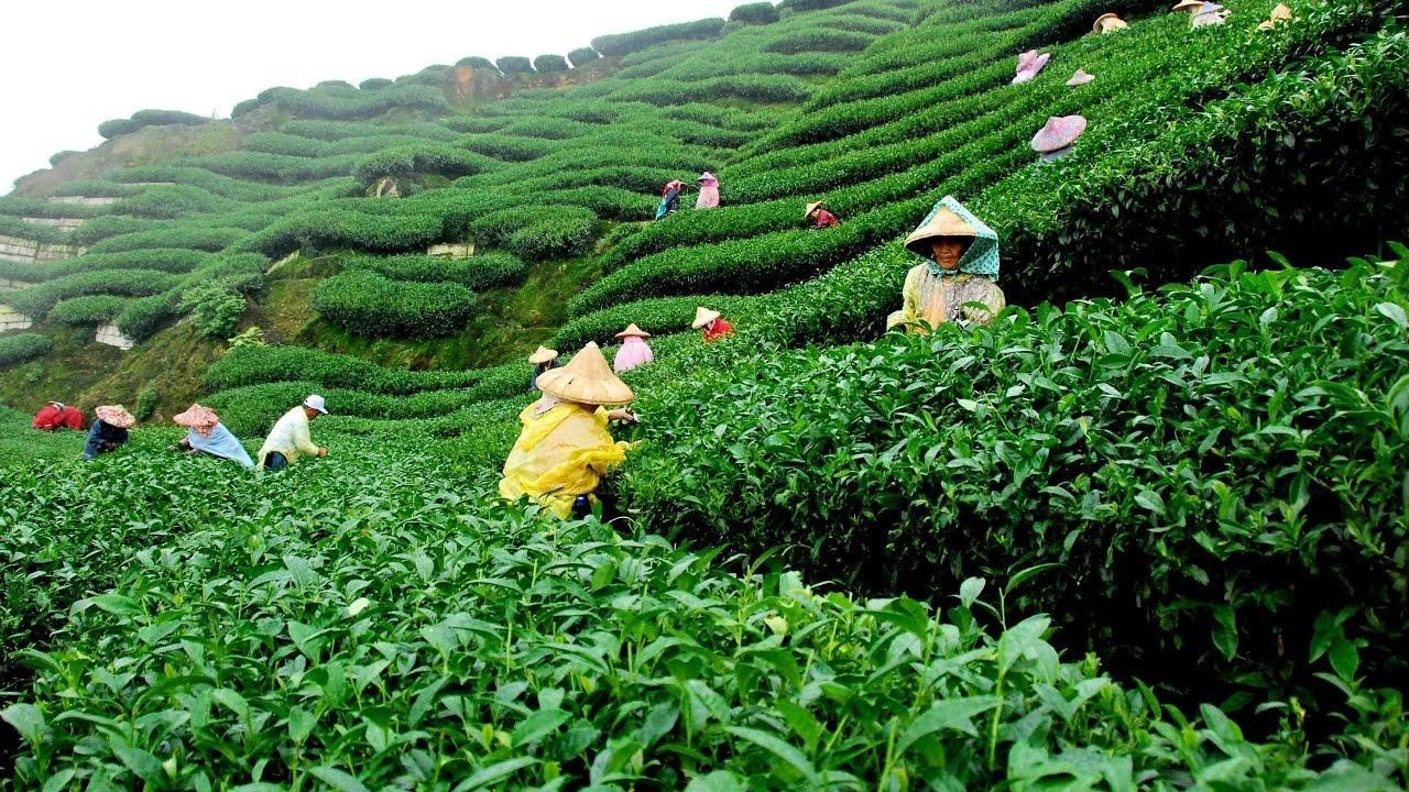 People with hats picking leaves at tea garden Sylhet